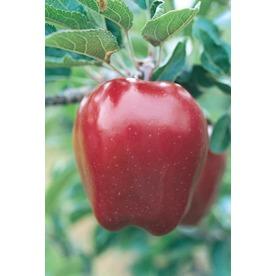 3.25-Gallon Holland Apple Tree (L1326)