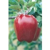  3.25-Gallon Holland Apple (L1326)