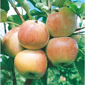  3.25-Gallon Mollie&#039;s Delicious Apple (L3582)