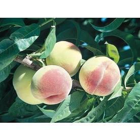 3.25-Gallon Loring Peach (L1260)