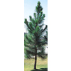  3.25-Gallon Slash Pine (L4533)