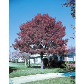 8.75-Gallon Shumard Oak (L1085)