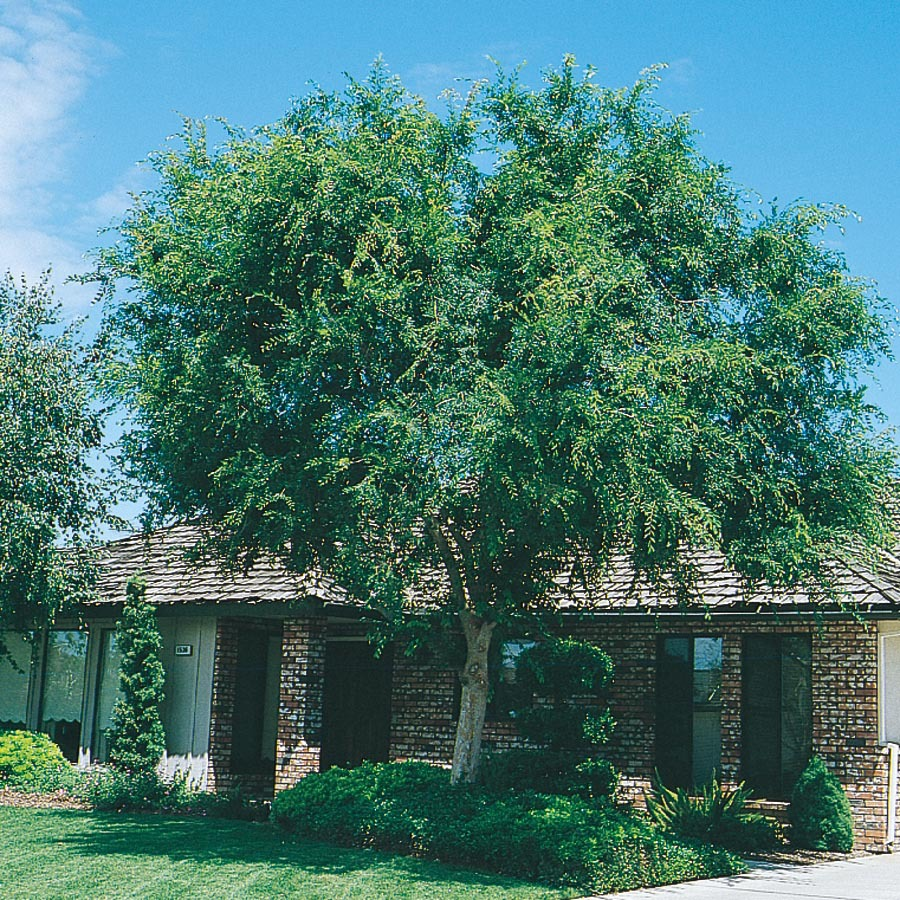 Shop 3.25-Gallon Lace Bark/Chinese Elm (L4376) at Lowes.com