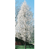 8.75-Gallon Cleveland Select Flowering Pear (L5397)