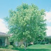 19.5-Gallon Silver Maple Tree (L1124)