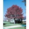 19.5-Gallon Shumard Oak (L1085)