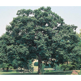 19.5-Gallon Chinquapin Oak (L5853)
