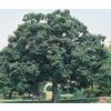 19.5-Gallon Chinquapin Oak (L5853)
