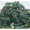 8.75-Gallon Chinquapin Oak (L5853)