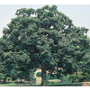 3.25-Gallon Chinquapin Oak (L5853)