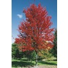  19.5-Gallon Autumn Blaze Maple Tree (L1123)
