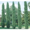 13.35-Gallon Italian Cypress (L3291)