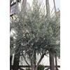 13.35-Gallon Wilson Olive (LW01715)