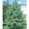 Eastern White Pine (L3619)