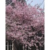1.75-in Kwanzan Flowering Cherry (L1023)