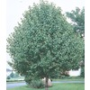 1.5-in Bradford Flowering Pear (L3235)