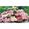 2.25-Quart Mixed Assorted Rhododendron (L5420)