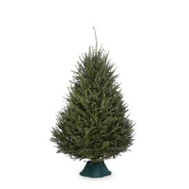 6-8-ft Fresh Balsam Fir Christmas Tree