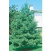 8-Gallon Eastern White Pine (L3619)