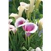 2.5-Quart Calla Lily (LW00678)