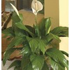 1.25-Quart Peace Lily (L20977HP)
