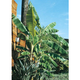  3.25-Gallon Banana (L4349)