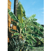 3.25-Gallon Banana Small Fruit (L4349)