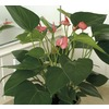 8-in Anthurium (L20914HP)
