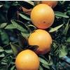 2.25-Gallon Semi-Dwarf Navel Orange Tree (L6110)
