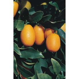  3.25-Gallon Dwarf Kumquat (LW04089)