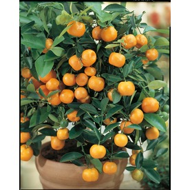 3.25-Gallon Semi-Dwarf Calamondin Tree (LW00032)