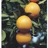 10.25-Gallon Semi-Dwarf Navel Orange Tree (L6110)