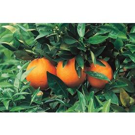  10.25-Gallon Minneola Tangelo (LW02827)
