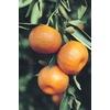 10.25-Gallon Tangelo Tree (L4687)