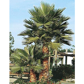 2.25-Gallon Mexican Fan Palm (L3048)