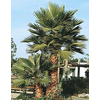 2.25-Gallon Mexican Fan Palm (L3048)