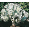 6.5-Gallon Bismarckia Palm (L14163)