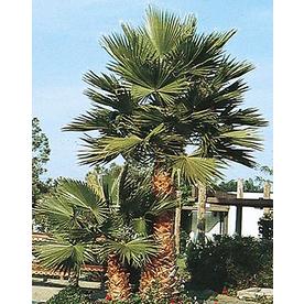 6.5-Gallon Mexican Fan Palm (L3048)