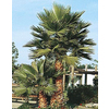 6.5-Gallon Mexican Fan Palm (L3048)
