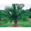 6.5-Gallon Majesty Palm (Ltl0062)