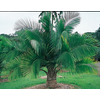 13-Gallon Majesty Palm (Ltl0062)