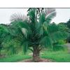 13-Gallon Majesty Palm (LTL0062)