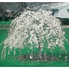 12.7-Gallon Weeping Snow Fountain Cherry (L7207)
