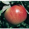 3.64-Gallon Fireside Apple Tree (L4229)