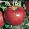 3.64-Gallon Sweet Sixteen Apple Tree (LW02664)