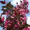3.64-Gallon Cranberry Lace Crabapple (L27243)