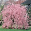 3.64-Gallon Double Flowering Weeping Cherry (L10580)