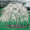 3.64-Gallon Weeping Snow Fountain Cherry (L7207)