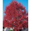 7.28-Gallon Sun Valley Red Maple (L2080)
