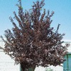 12.7-Gallon Canada Red Flowering Cherry (L7213)